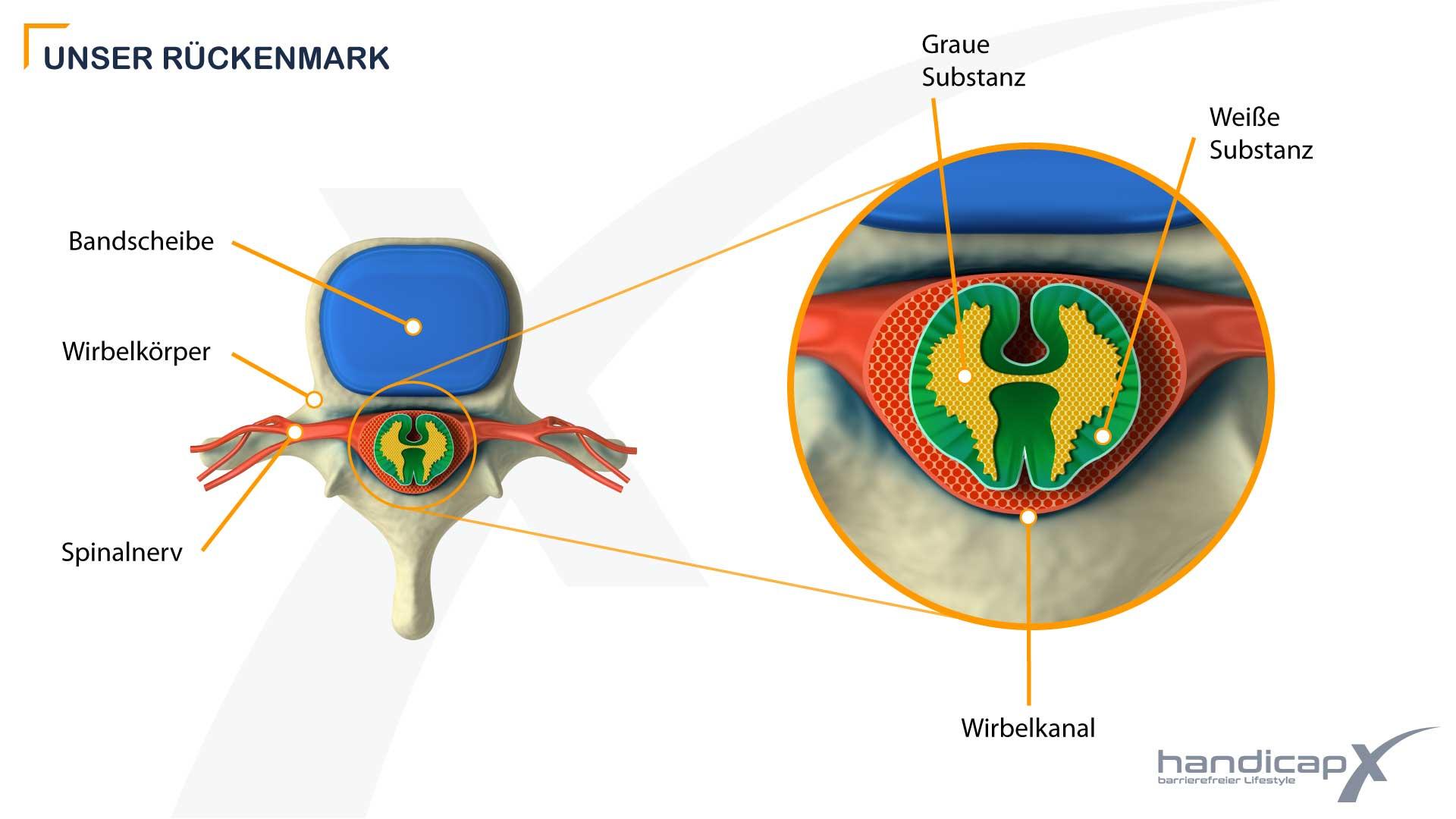 Grafik zeigt den Querschnitt eines Wirbelkörpers mit Rückenmark und Spinalnerven